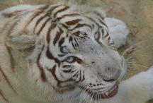 White tigers & lions & leopards / Witte tijgers en leeuwen
