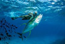 Ascension Island Spearfishing / Spearfishing on Ascension Island in the Atlantic Ocean for giant yellowfin and bigeye tuna.