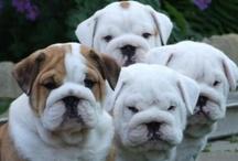 Bulldogs! / by Linney Pig