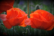 I Love Poppies / by Susie Faires