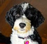 pup / My pup love is Lola and she is a Portuguese Water Dog. She has my heart and soul <3