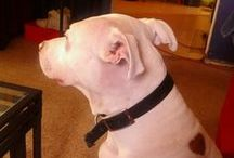 My White Pit Bull / by Xylia Williams