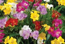 Get your Garden Growing! / Check out the variety of garden solutions available through Collections Etc. Add a pop of color to your garden and outdoor living space with the beautiful selection of flower bulbs.