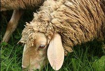 Feed my Sheep / by Cheryl Lysy
