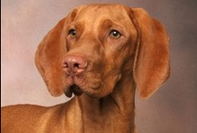 Cute Pets / Such a cute vizsla! / by Fern F.
