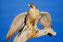 Falcons / Homeschool study and free lapbook about the most fascinating falcon. #homeschoolscience #falcon