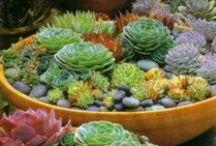 Garden Succulents / succulent plants