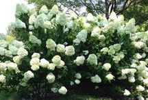 Garden Shrubs and Trees / shrubs and trees for the garden / by Sherry