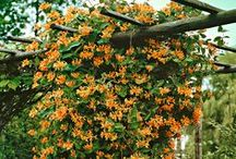 Garden Vines & Climbers / garden vines and climbers, plants to cover trellises and arbors