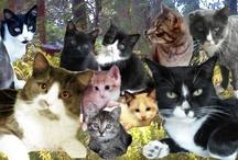 My cute tuxedo cats / See videos at: https://www.youtube.com/user/meekucat