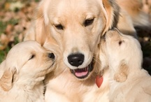 Golden Retrievers / I love these Golden Beauties ♥ / by Lakia Cooper ♛
