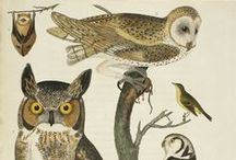 Superb Owls / Ready for the big weekend? Some superb owls from our collection of John James Audubon's watercolors for The Birds of America.