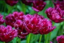 Gradinile din Keukenhof / Vă invit într-o călătorie virtuală prin cea mai frumoasă grădină de primăvară a Europei. Haideţi să priviţi prin ochii mei culorile superbe ale lalelelor, zambilelor, narciselor şi ale brânduşelor răspândite şi migălos aşezate în peste 32 de hectare de paradis floral.