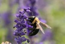 Carpenter Bees / This board is dedicated to educating about the carpenter bee.  These wood boring bees can cause lots of damage to homes and be a real nuisance.  However, they are fascinating and fun to learn about!