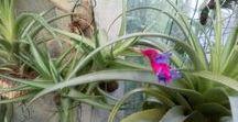 Tillândsias e Bromélias @ Bromélias do Brejo / Tillandsia (air plants) and bromeliads (Bromeliaceae), visit to Bromélias do Brejo.  #tillandsia #bromelia #bromeliads #bromeliaceae #airplants