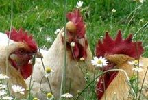 Love me some chickens~ / I love chickens, they seem so industrious and busy about their very important poultry matters~