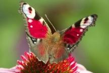 Motýľ-Butterfly / Sme zamilovaní do motýľov.