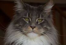 Maine Coon Cats / I love them so much!