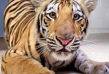 Geaux Tigerz