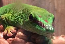 I Like Lizards