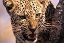 """South Africa's """"Big Five"""" / The reason for many international travellers to visit South Africa are the exciting opportunities to observe Africa's untamed wildlife in its natural surroundings.  The """"Big Five"""" which are amazing to encounter on game drives include lions, rhinos, buffaloes, elephants and leopards."""