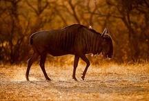 Greater Kruger National Park Lodges / Lodge accommodation in the Greater Kruger