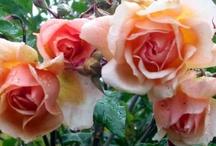 Roses - My Favorites