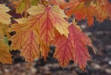 Landscape Trees Shrubs: Specimens / Focal points for the garden.