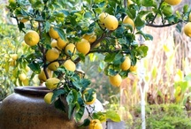 Dwarf Fruit Trees & Shrubs / Fruit trees and fruiting shrubs suitable for container planters, including cold-hardy varieties and indoor ornamental citrus.