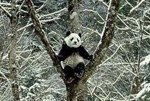 pandas / by Makenzie Tarpinian
