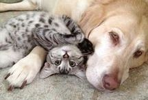 Dogs cuddling with cats! / Dogs cuddling with cats. Yes, sometimes these are forced cuddles :)