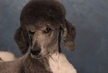 shelley the poodle girl / by Brad Taphouse