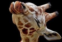 so uh... i like giraffes / by Brinley Murphy