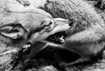 Wolfs / #wolfs #mystic animals #dark arts #animals in art