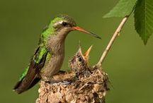Hummingbirds / by Kitty Calico