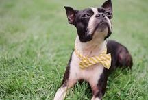 Boston Terrier <3