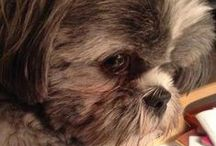 I <3 my dogs / Cute Lhasa Apso dogs (like mine), other cute dogs, and stuff for my dogs. / by Vanessa Jackson