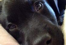 Love Labradors
