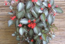 Hip Houseplants / A collection of fashionable houseplants to use in indoor container gardens.