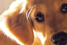 Animals - Dogs - Goldens / by Sara Schmanski
