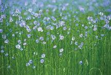 Linen / Flax - my love.