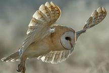 Owl 2 - Barn Owl especially! / by Asako Kayumi