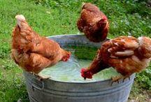 Hens & their Husbands