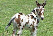 Donkey & Mule