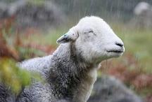 Sheeps & goats