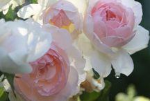 Roses / by Jenn Matkin West