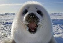 Darling Harp Seals & Their Pups / by Evangelyne234