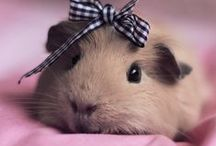 Guinea Pigs / by Melissa B