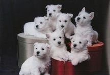 Whitney The Westie / Whitney---my parents dog that Loves me more than them ! / by Deborah Reed