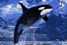 Orca. / Beautiful orca, often called killer whales... but they're not. They're actually the largest of the dolphin species. / by Cindy Hanson